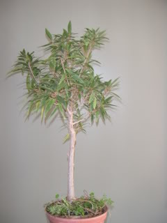 Willow Leaf Ficus 002-50