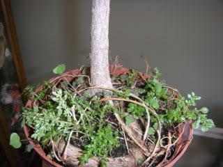 Willow Leaf Ficus 003-45