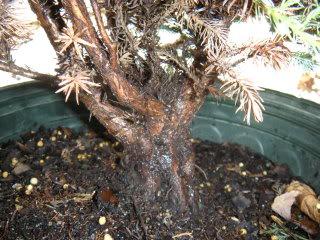 Chamaecyparis pisifera 'Boulevard' Cypress 005-45