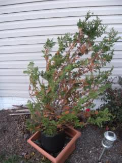Fern Leaf Hinoki Cypress? 804