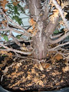 Fern Leaf Hinoki Cypress? 805