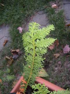 Fern Leaf Hinoki Cypress? 808