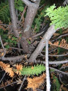 Fern Leaf Hinoki Cypress? 809