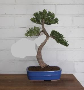 Idea for podocarpus Tg