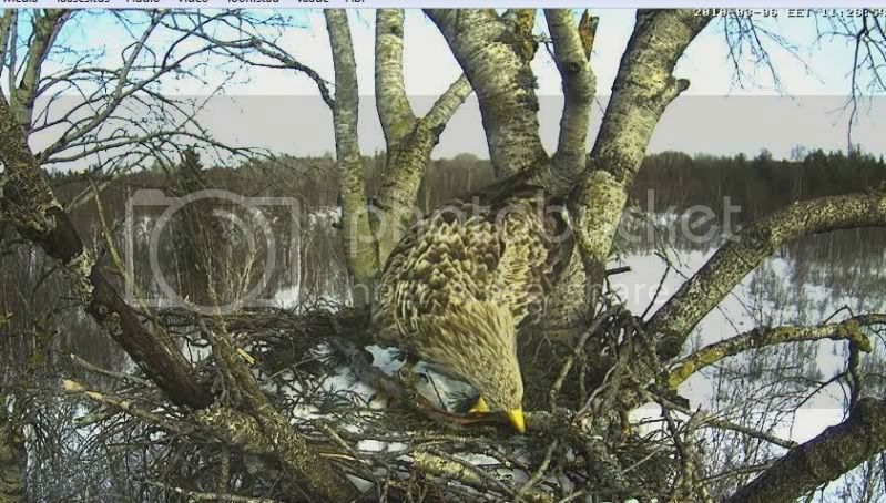 White-tailed Eagle Camera Lovers - Page 2 00-3