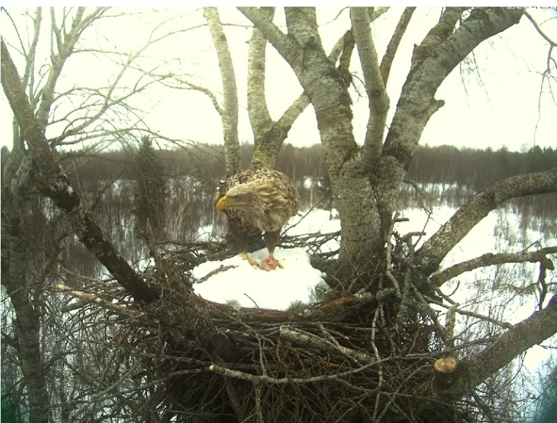 White-tailed Eagle Camera Lovers 2-13