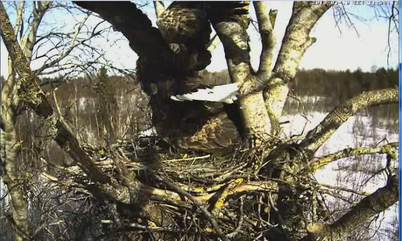 White-tailed Eagle Camera Lovers - Page 3 2-21