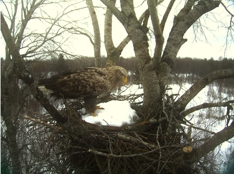 White-tailed Eagle Camera Lovers 3-11