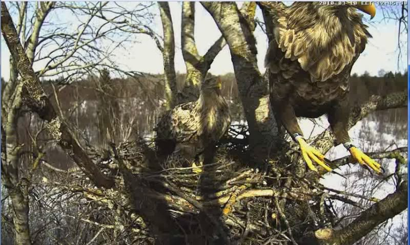White-tailed Eagle Camera Lovers - Page 3 3-15