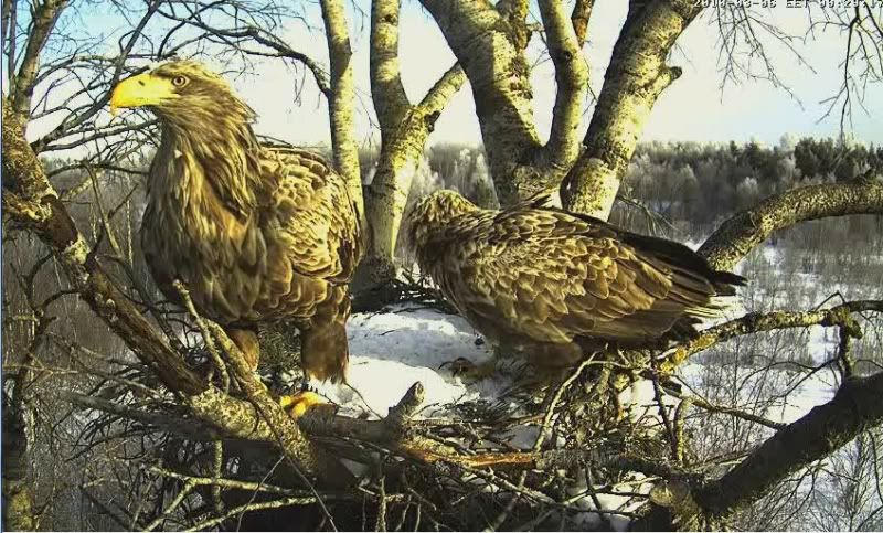 White-tailed Eagle Camera Lovers - Page 2 4-11