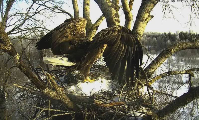 White-tailed Eagle Camera Lovers - Page 2 5-7