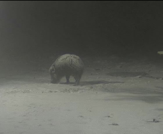Wild Pig Camera Lovers/ ADDRESS CHANGED TO SWEDISH STREAMING CAM Ksik