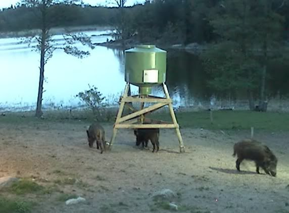 Wild Pig Camera Lovers/ ADDRESS CHANGED TO SWEDISH STREAMING CAM - Page 2 Rootsisead2