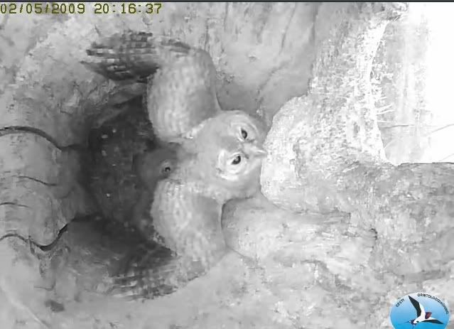 Tawny Owl Camera Lovers Vlja