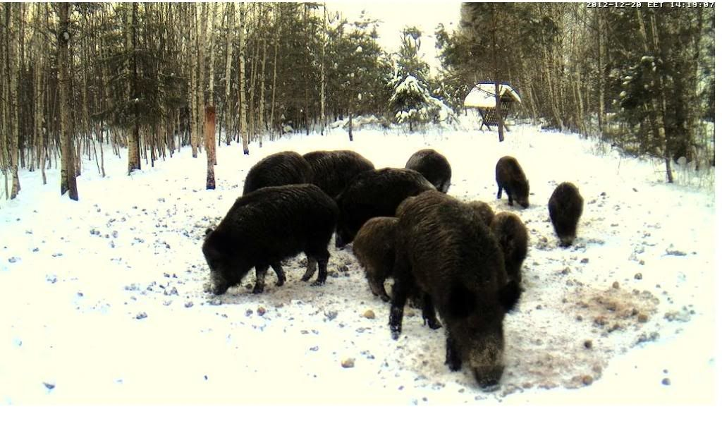 Boars cam, winter 2012 - 2013 - Page 5 Sead-2_zps1a15be70