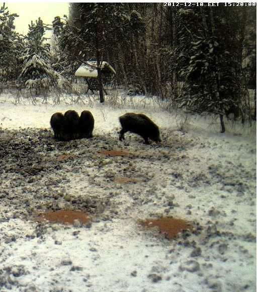 Boars cam, winter 2012 - 2013 - Page 2 Siga-2