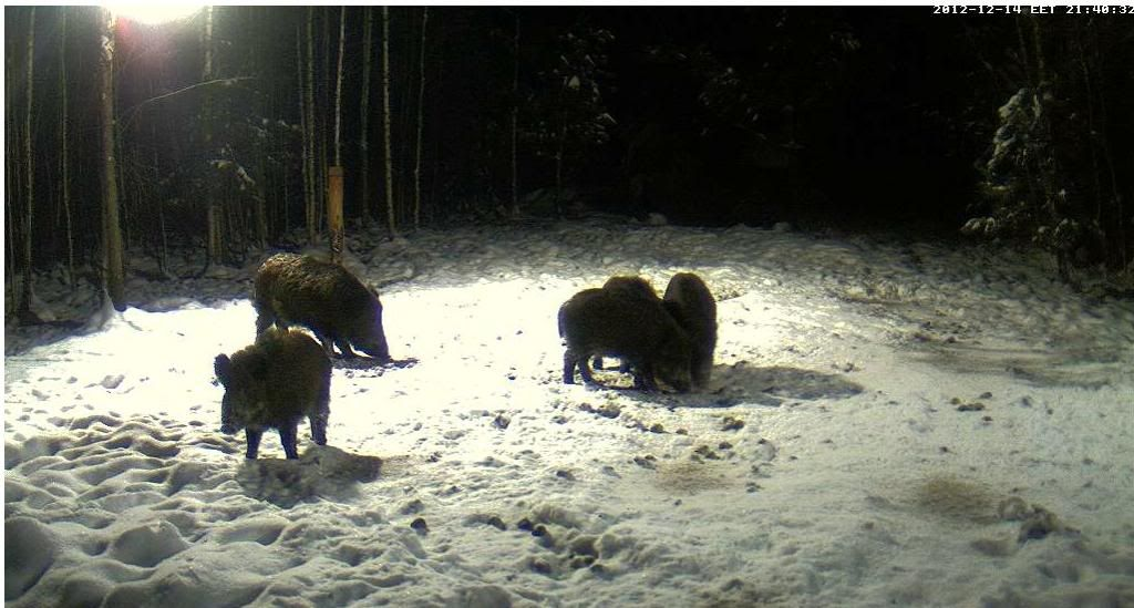 Boars cam, winter 2012 - 2013 - Page 3 Siga4_zps90134291