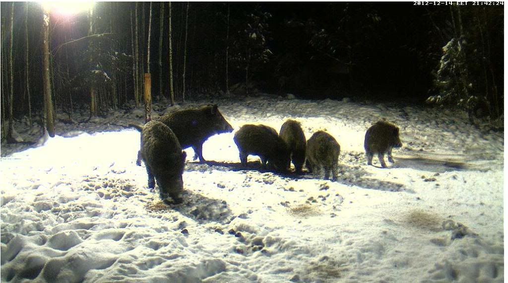 Boars cam, winter 2012 - 2013 - Page 3 Siga6_zps716d7145