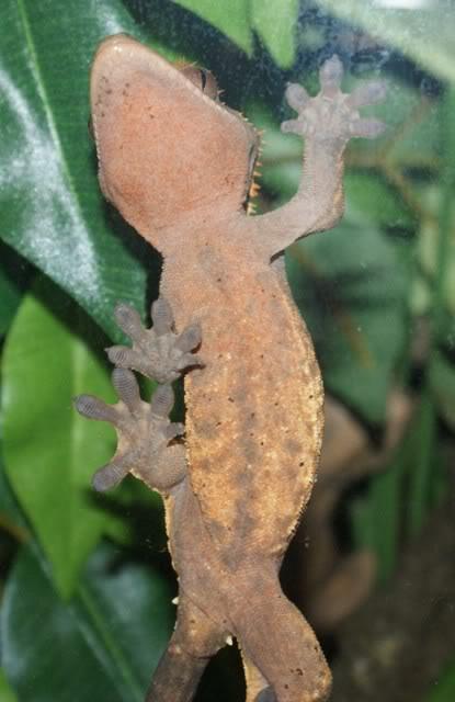 Spider Gecko Keiko-3