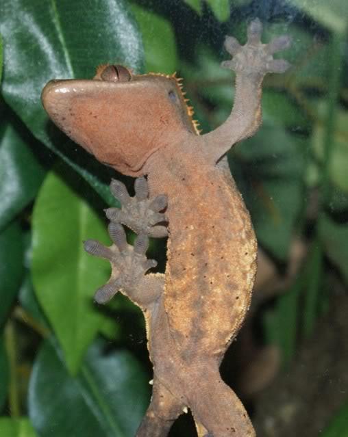 Spider Gecko Keiko1-2