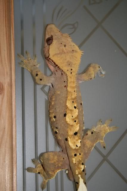 Beautiful Breeding Pair of Crested Geckos - Female Poss Gravid  Male23