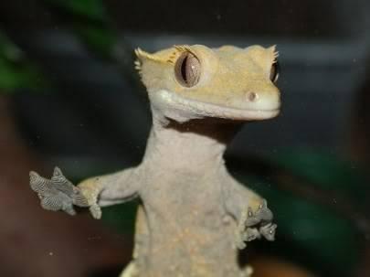 Some Crestie pics PomBlossom