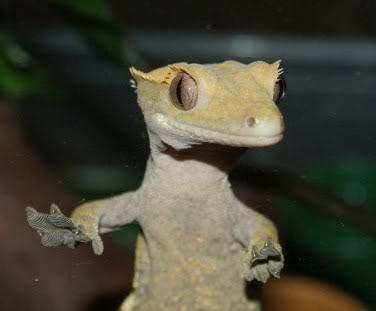 Beautiful Breeding Pair of Crested Geckos - Female Poss Gravid  PomBlossom1