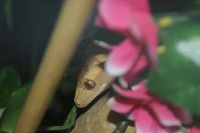 Some Crestie pics PomBlossom10