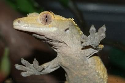 Beautiful Breeding Pair of Crested Geckos - Female Poss Gravid  PomBlossom3
