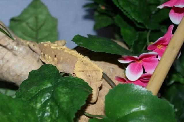Some Crestie pics PomBlossom5