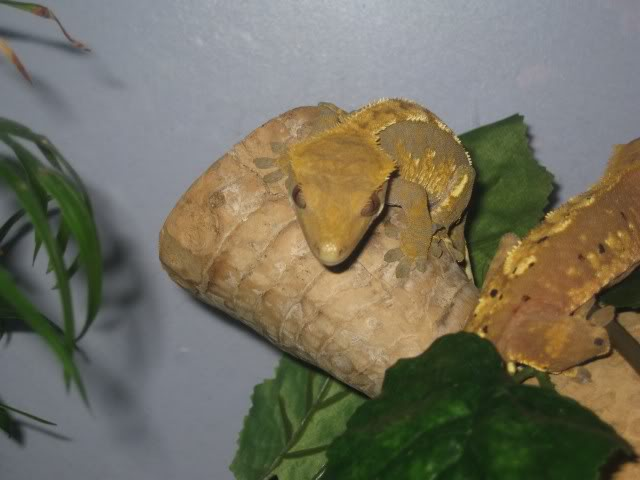 Beautiful Breeding Pair of Crested Geckos - Female Poss Gravid  PomBlossomtogether