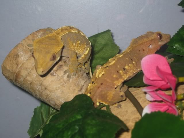 Beautiful Breeding Pair of Crested Geckos - Female Poss Gravid  PomBlossomtogether2