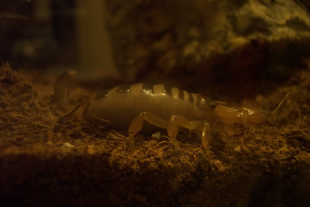 My scorpion is gravid and I don't know what to do (read before you judge) 100_5619