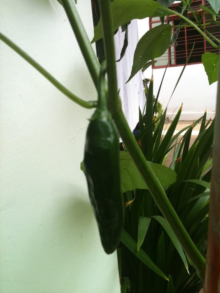 Que pimenta é essa? IMG_0419