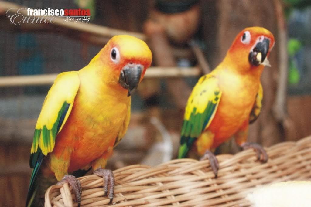 birdie.. Lovebirds