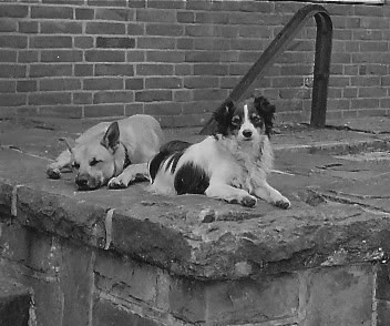 Pete and Diddy, Honorary Sqn Members 1952, Pete and Diddy were our Squadron Mascots at 20 Armd Bde Signals. Here they are outside the Signal Centre, there usual hangout waiting for some 'goodies'.