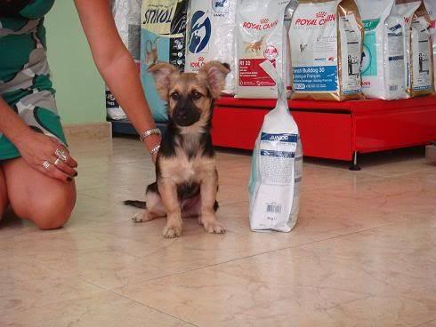 Bombom, perrito de 5 meses tamaño pequeño Almeria Bombon1