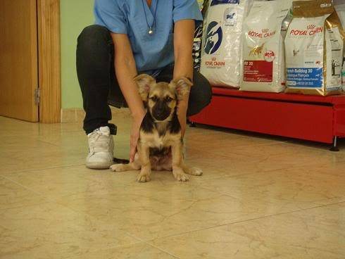Bombom, perrito de 5 meses tamaño pequeño Almeria Bombon3