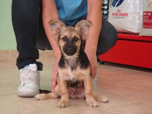 Bombom, perrito de 5 meses tamaño pequeño Almeria Bombon4