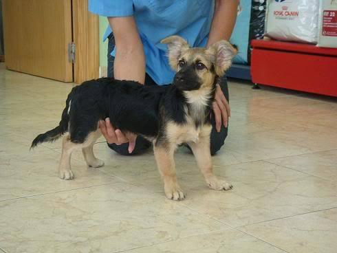 Bombom, perrito de 5 meses tamaño pequeño Almeria Bombon5
