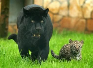 Najdraža životinja Jaguarandcub