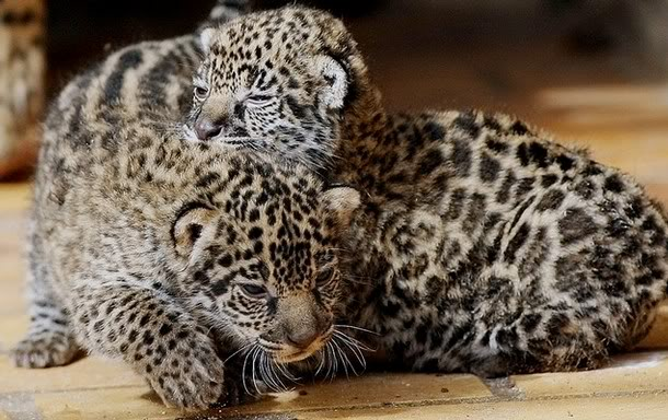 Najdraža životinja Jaguarcubs