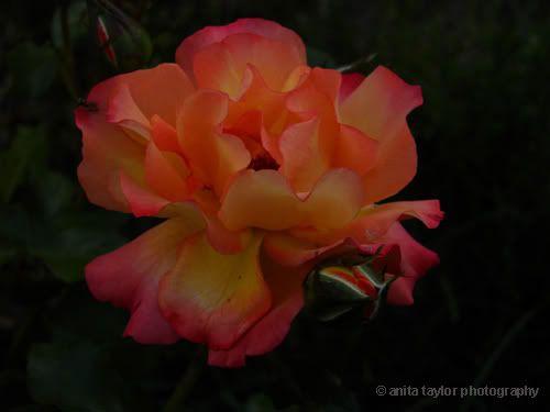 My photography obessesion Beautyunfurledcopy