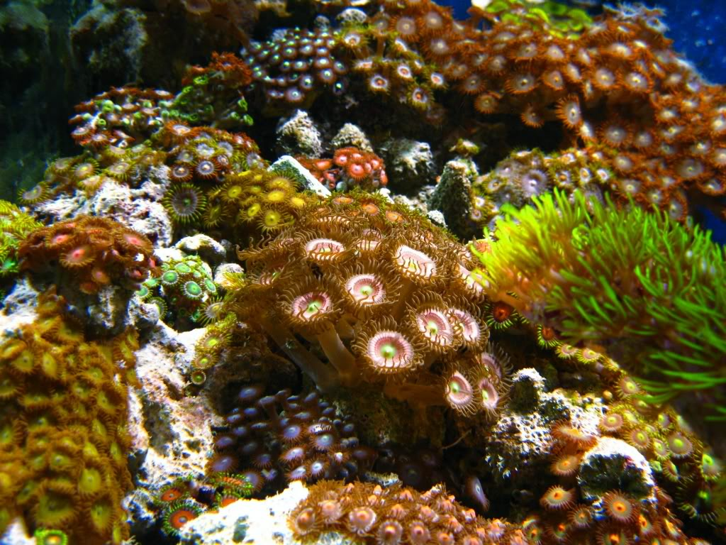 Why are my Zoanthids closed? Palyzoas-1