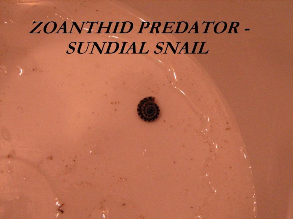Why are my Zoanthids closed? Sundial