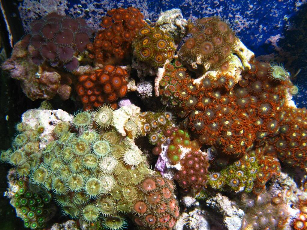 Why are my Zoanthids closed? Zoagarden