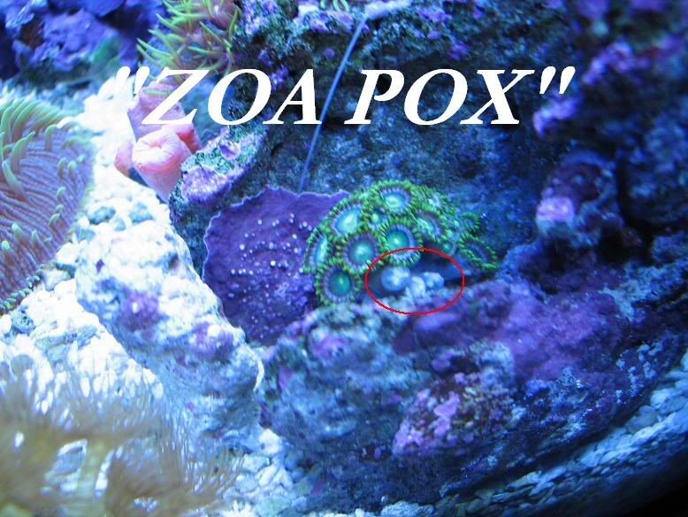 Why are my Zoanthids closed? Zoaissue2
