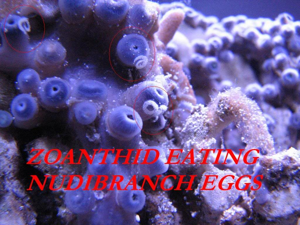Why are my Zoanthids closed? Zoanudieggs