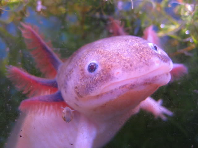 Axolotls are awesome (with pictures made of awesome) IMG_2170
