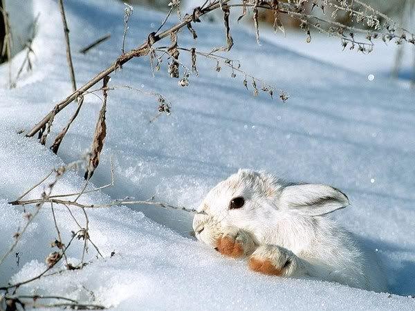 Foto nga bota e kafsheve dhe zogjve  - Faqe 2 Fond-ecran-lapin1